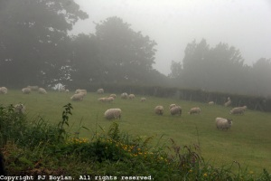 Sheep in Fog