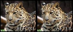 2 leopards
