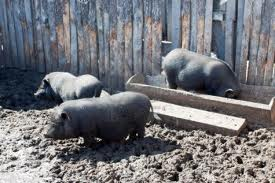 pigs in yard