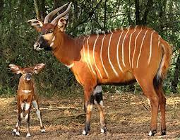 2 bongo antelopes