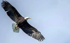 escaped eagle