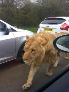 escaped lion