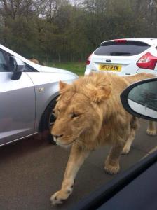escaped lion