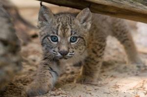 lynx kitten 2